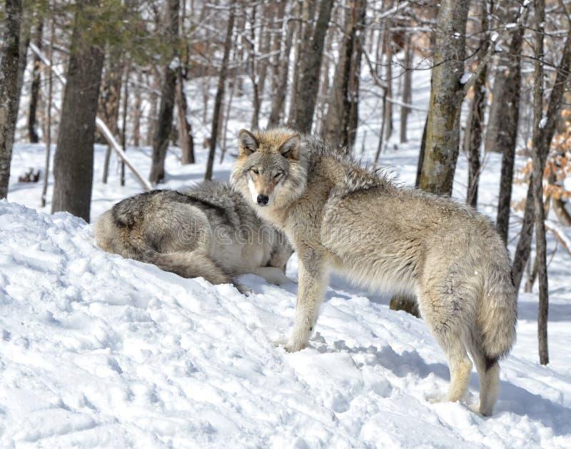 Lupi di inverno fotografie stock