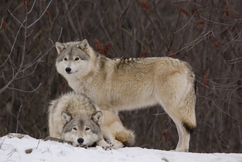 Lupi in inverno fotografie stock libere da diritti