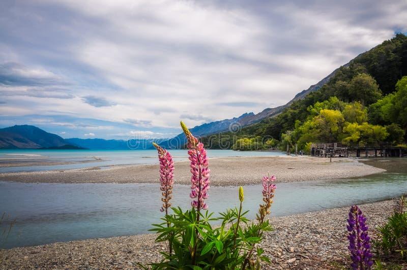Lupin blommar i alpint landskap på Kinloch, NZ royaltyfri foto