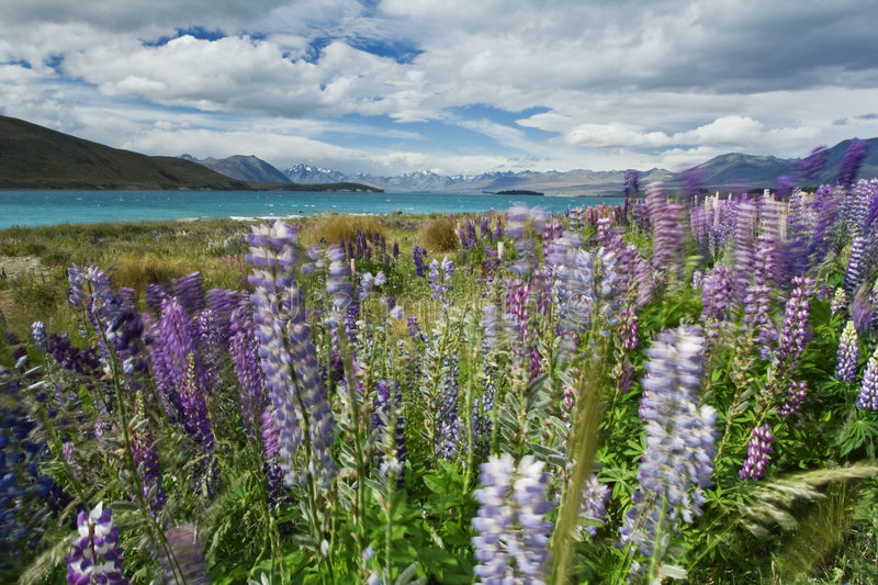 Lupin field. Taken near Lake Tekapo in New Zealand. Windy afternoon and beautifuly coloured lupin field stock photography