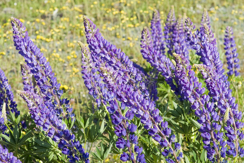 Download Lupin Flowers stock photo. Image of pretty, perennial - 15230394