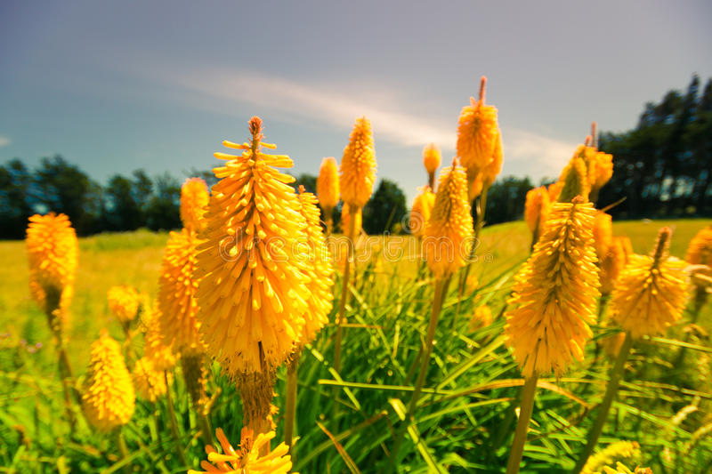 Lupin flowers in New Zealand stock photography