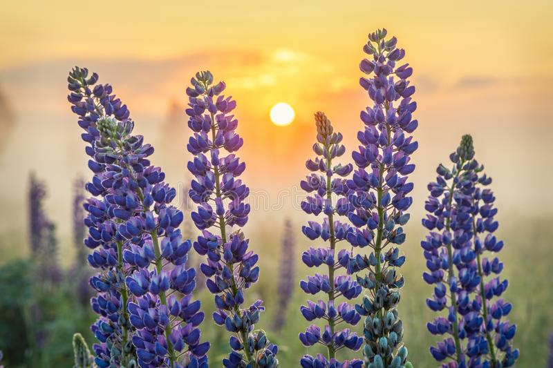 Lupin flowers with rising sun. On background stock photo
