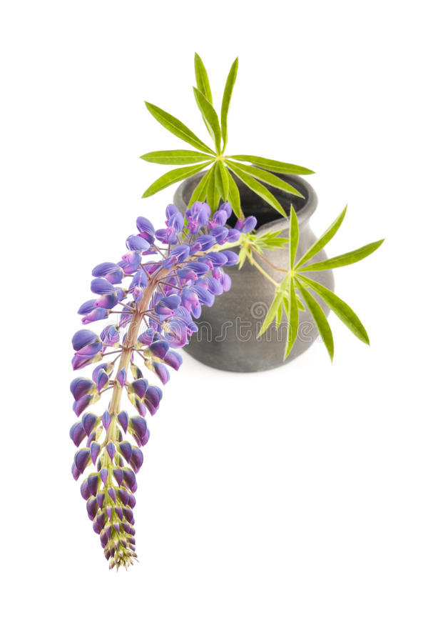 Download Lupin on white stock photo. Image of green, annual, lupines - 25247920