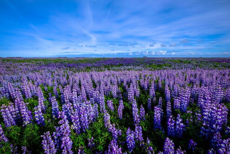 Поле лаванды lupine с голубыми небесами