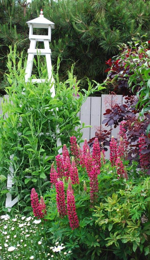 Lupine die in de de Zomertuin bloeien royalty-vrije stock fotografie