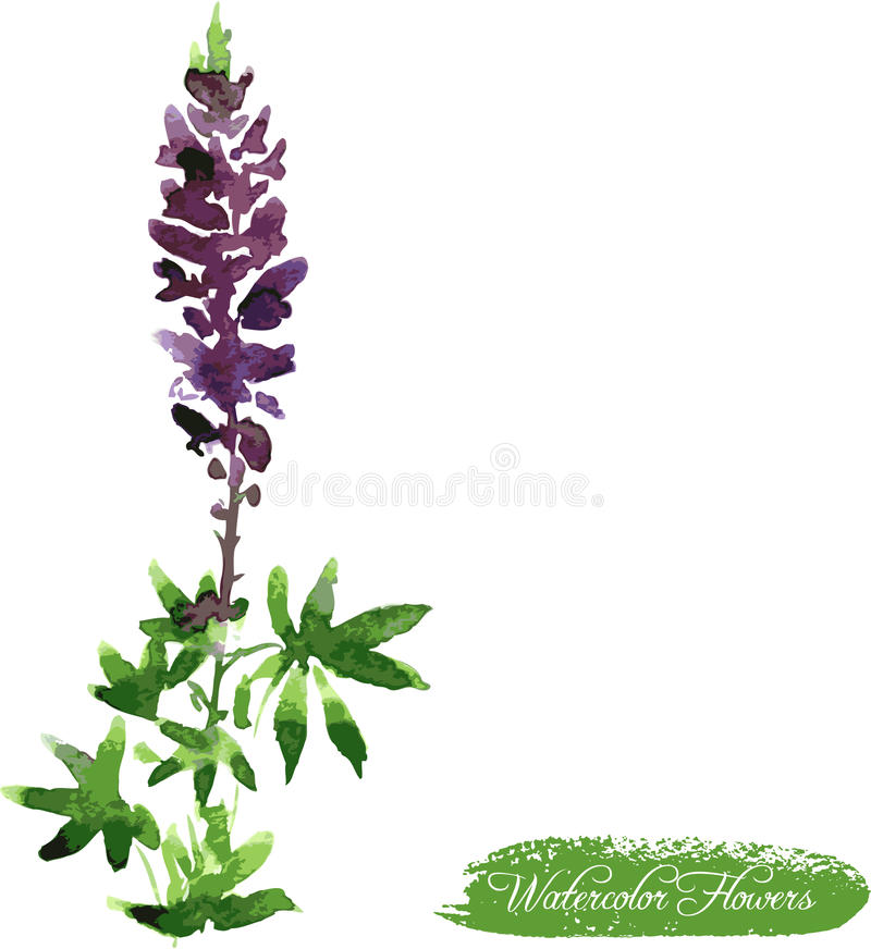 Lupine drawing by watercolor vector illustration