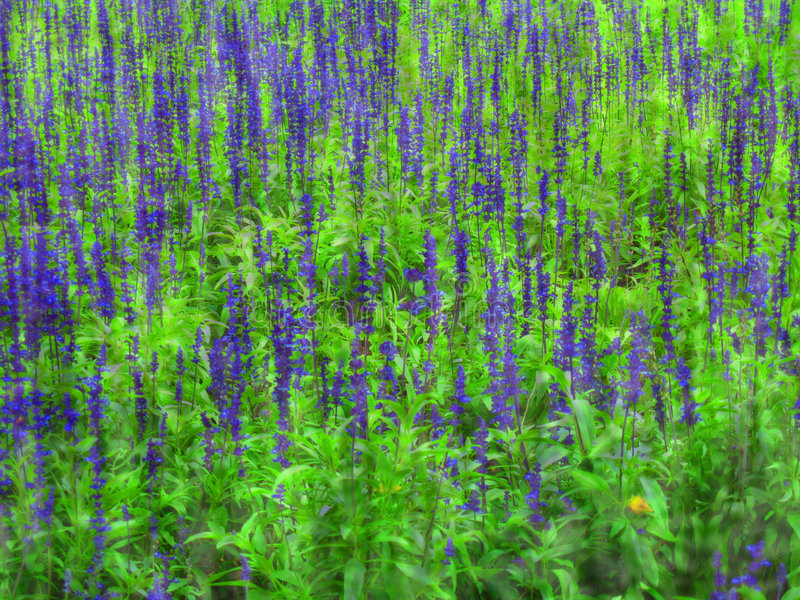 Download Lupine Field stock image. Image of soil, flowers, ornamental - 1282859