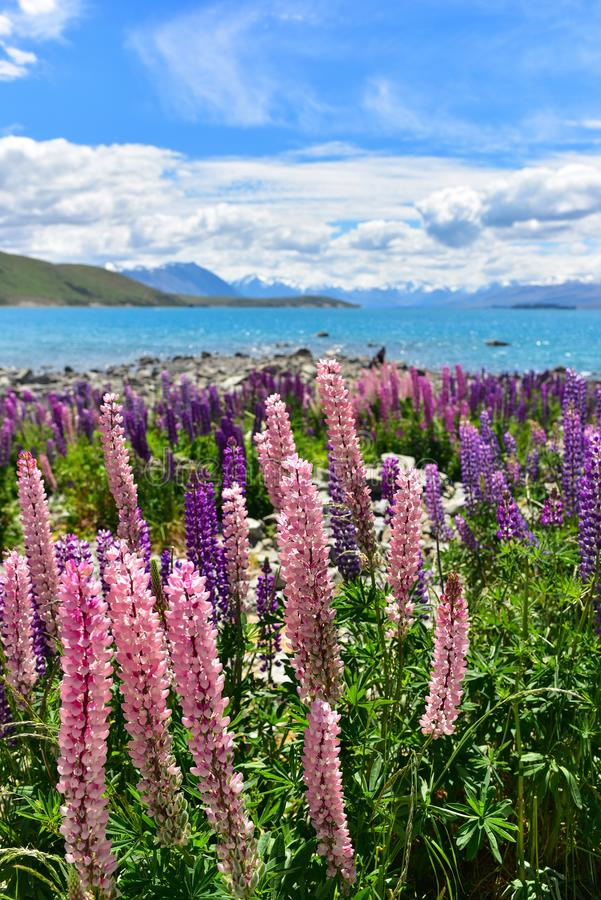 Lupine field in New Zealand stock image