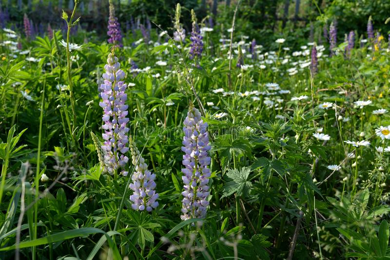 Lupine flowers on herbal meadow in summer. Flowering lawn stock photography