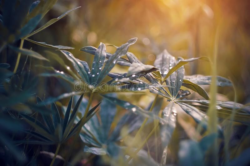 Lupine leaves strewn with drops of water in rainy weather royalty free stock photography