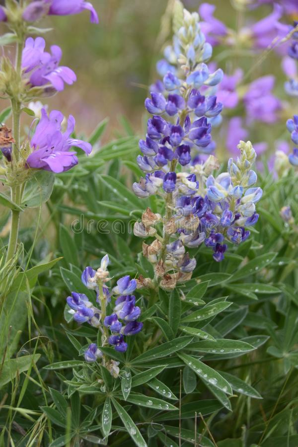 Lupine and Penstemon: Catching water jewels after a rain on the Horse Heaven Hills. Spring time in the Columbia Basin brings brief blessing of showy wild stock image