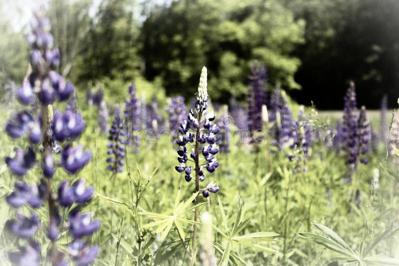 Lupine Splendor royalty free stock photo