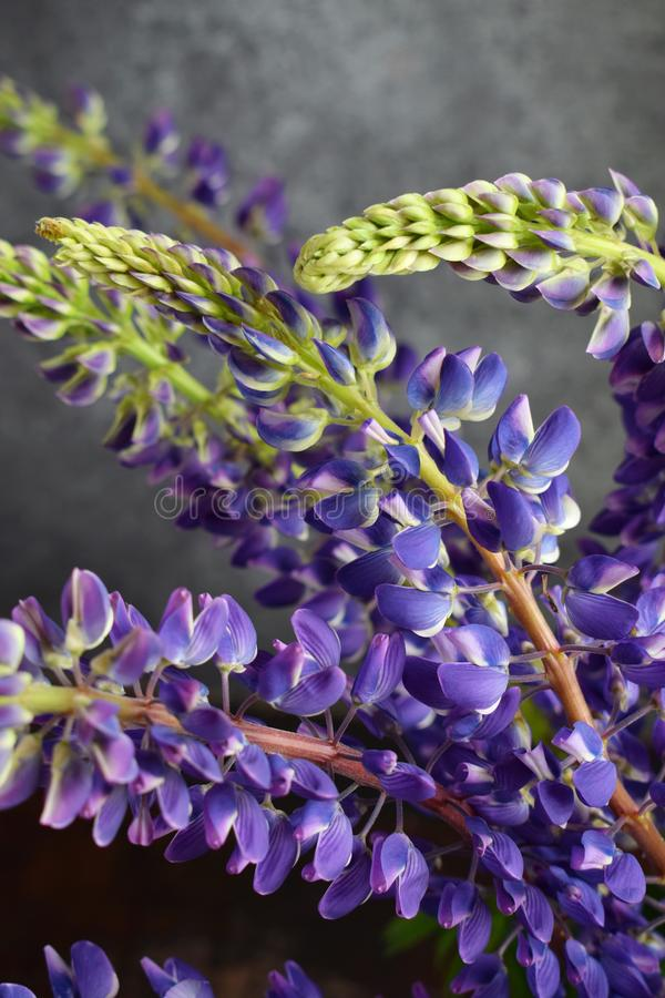 Lupine. Still life with purple flowers bouquet in vase. stock photography