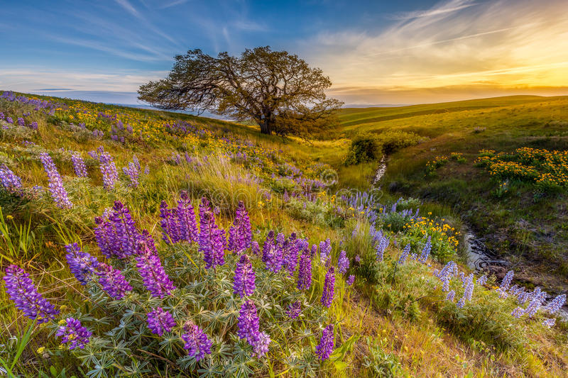 Lupine in sunset at Columbia hills state park, Washington.  royalty free stock photography