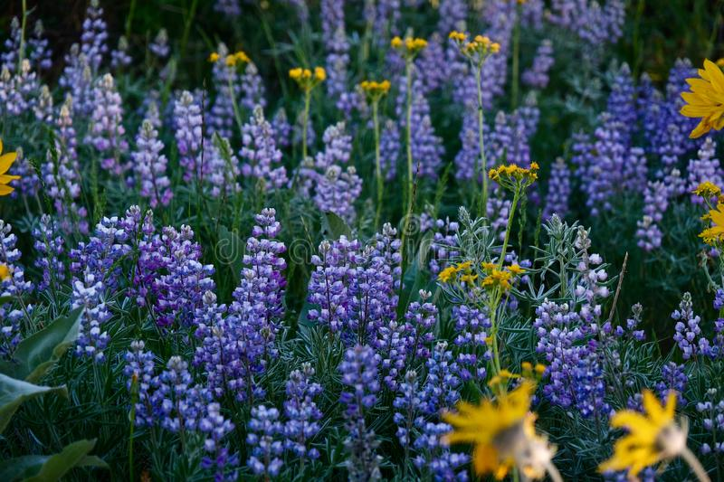 Lupine Wildflowers in den Wiesen stockfotografie