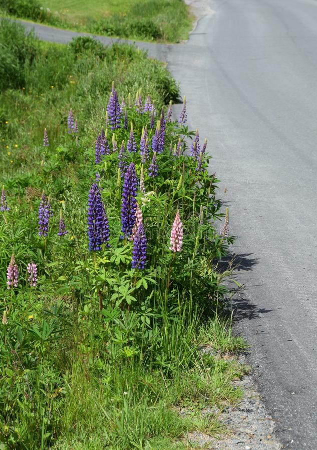 Lupine  wildflowers patch along the roadside stock photo