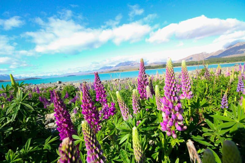Lupinebloem Nieuw Zeeland stock afbeeldingen