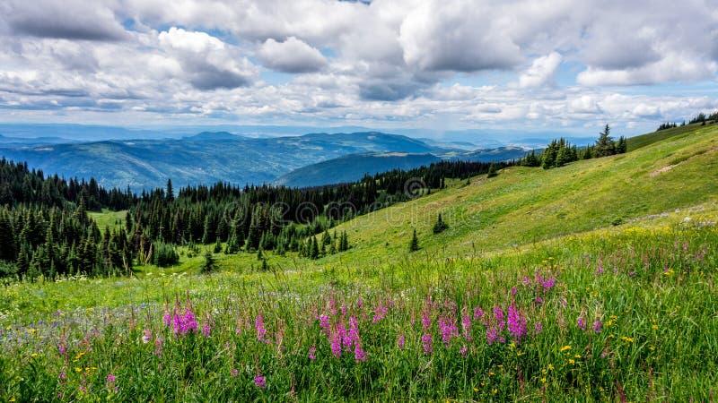 Lupinebloemen in Hoge Alpiene Weiden stock afbeeldingen