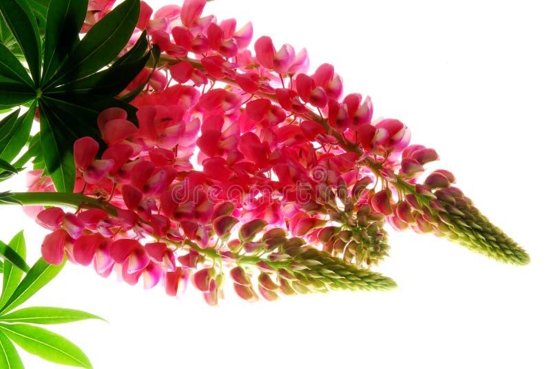 Lupineblume stockfotografie