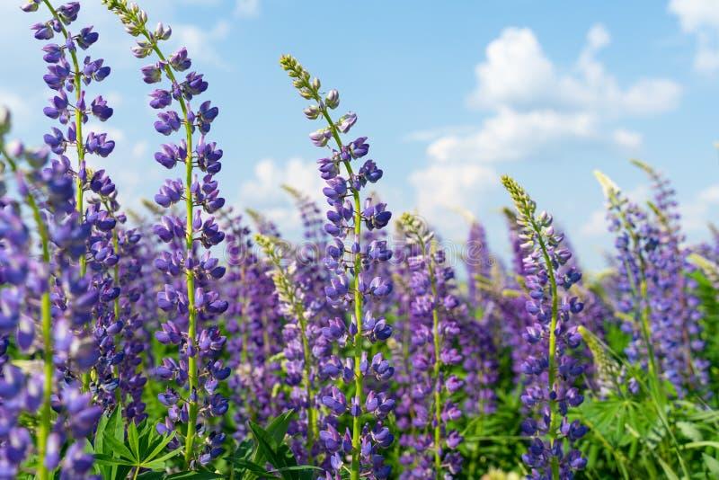 Lupinegebied met purpere en blauwe bloemen Bos van de bloemachtergrond van de lupineszomer Lupinus stock foto