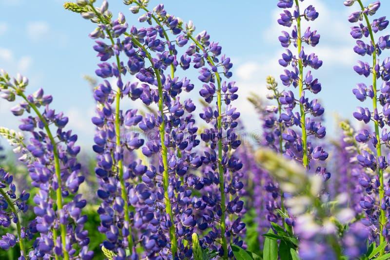 Lupinegebied met purpere en blauwe bloemen Bos van de bloemachtergrond van de lupineszomer Lupinus stock afbeelding