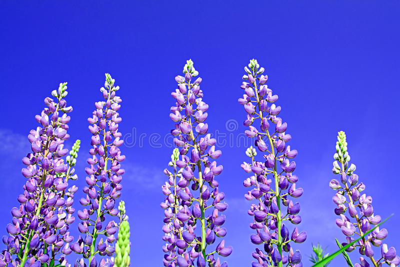 Download Lupines stock image. Image of decoration, head, botanic - 12048561