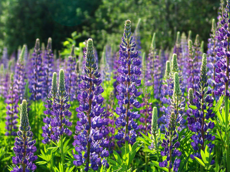 Lupines 3 royalty free stock photography