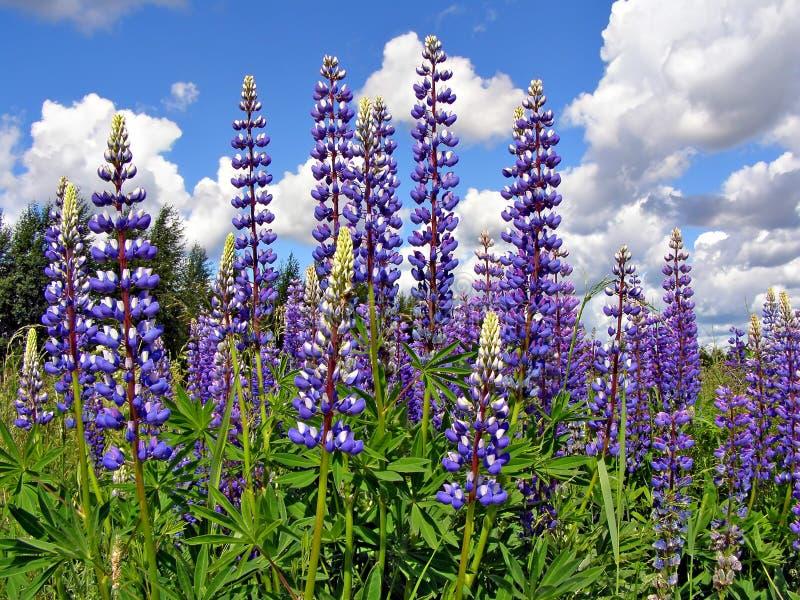 Download Lupines de Flowerses foto de archivo. Imagen de brillante - 7151160
