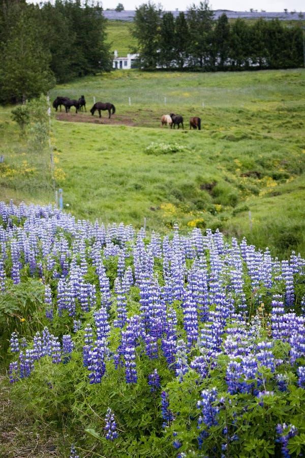 Lupines e cavalos em Islândia foto de stock royalty free