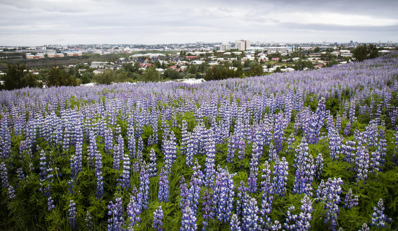 Lupines em ReykjavÃk, Islândia imagem de stock