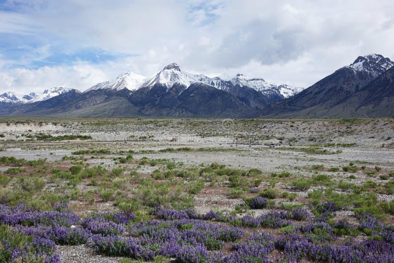 Lupines et Mt McCaleb, Idaho photo libre de droits