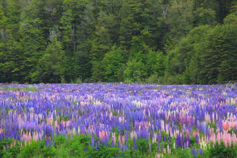 Lupines Feld, Neuseeland lizenzfreie stockfotografie