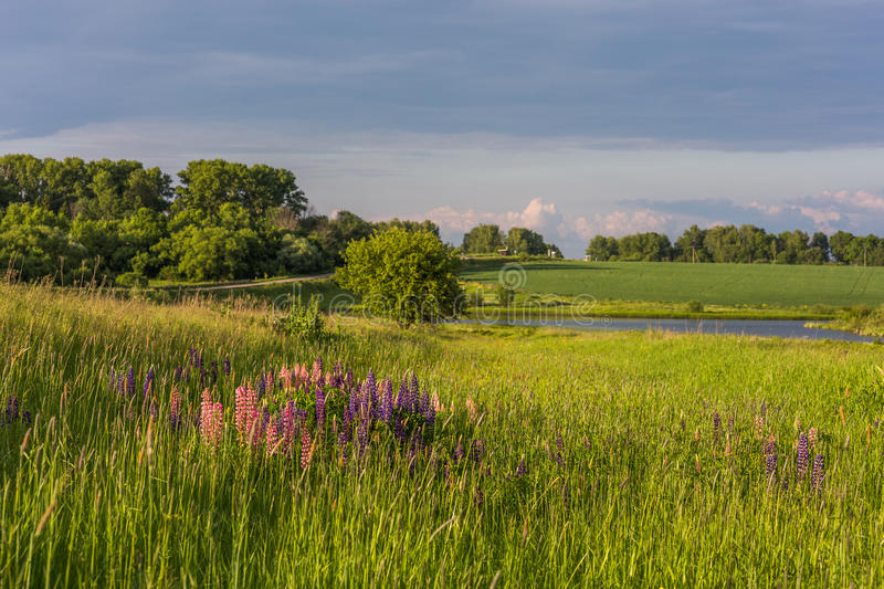Lupines in field summer landscape stock photo