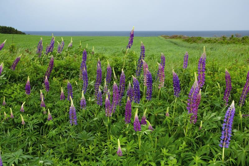 Lupines fleurissant dans prince Edward Island photographie stock libre de droits