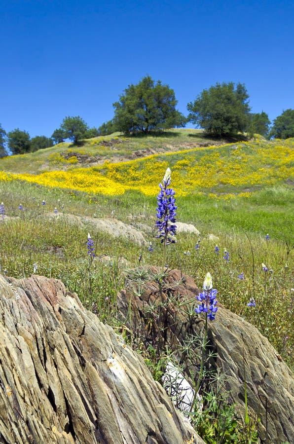 Lupines, Kalifornia maczki i Dębowi drzewa, zdjęcia royalty free