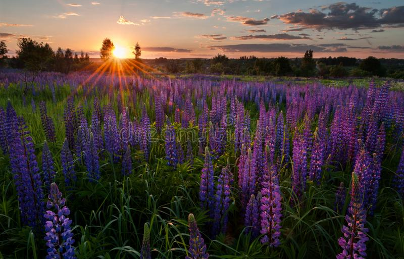 lupines royalty free stock images