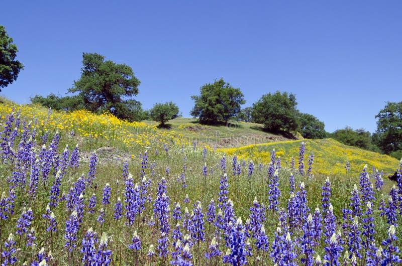 Lupines, pavots de Californie, et chênes images stock