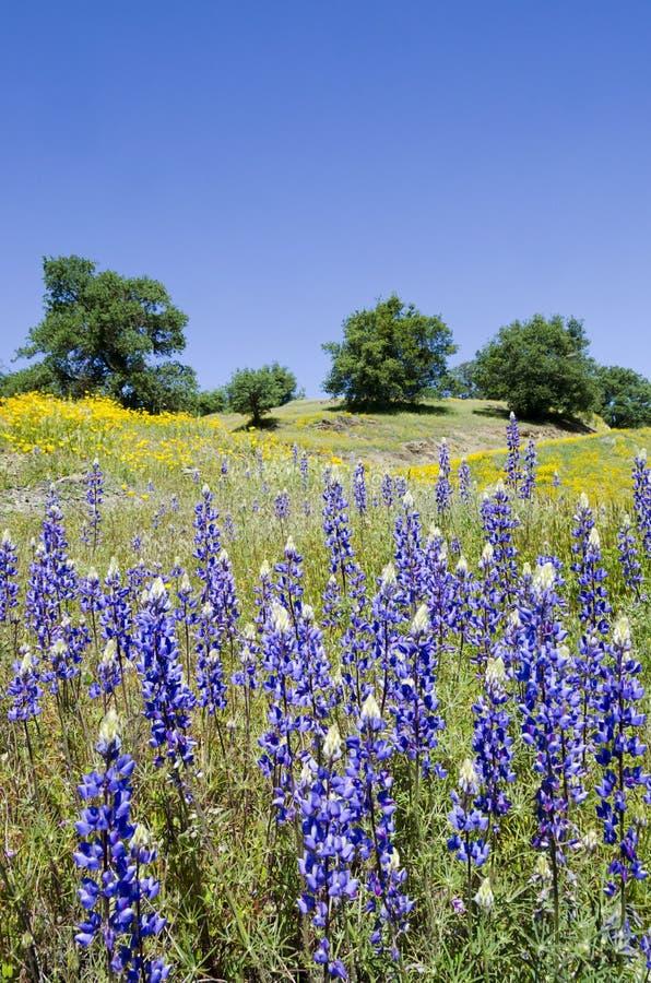 Lupines, pavots de Californie, et chênes photographie stock libre de droits