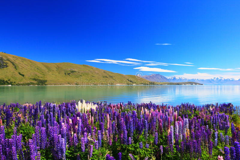 Lupines pelo lago Tekapo, Nova Zelândia fotografia de stock