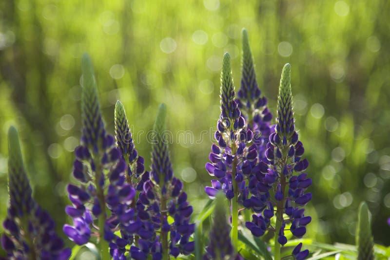 Lupines que florecen en junio en Finlandia fotos de archivo libres de regalías