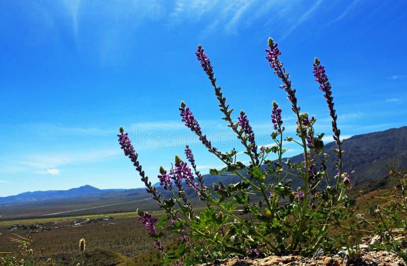 Lupines roxos do Arizona e o céu azul, parque estadual do deserto de Anza Borrego fotografia de stock