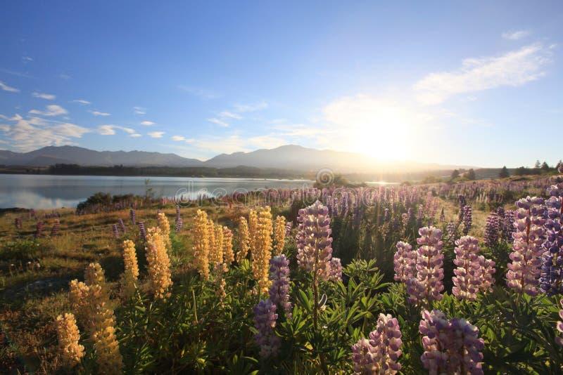 Lupines under sunrise royalty free stock photos
