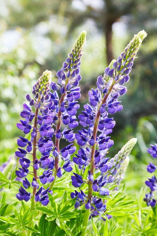 Lupines violets fleurissant dans le pré photographie stock