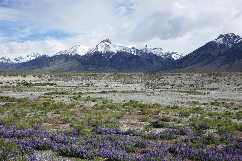Lupines y Mt McCaleb, Idaho foto de archivo libre de regalías