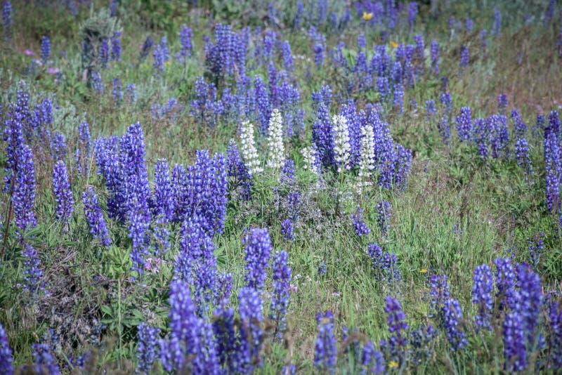Lupini bianchi selvatici e di porpora nel prato di Colorado immagini stock