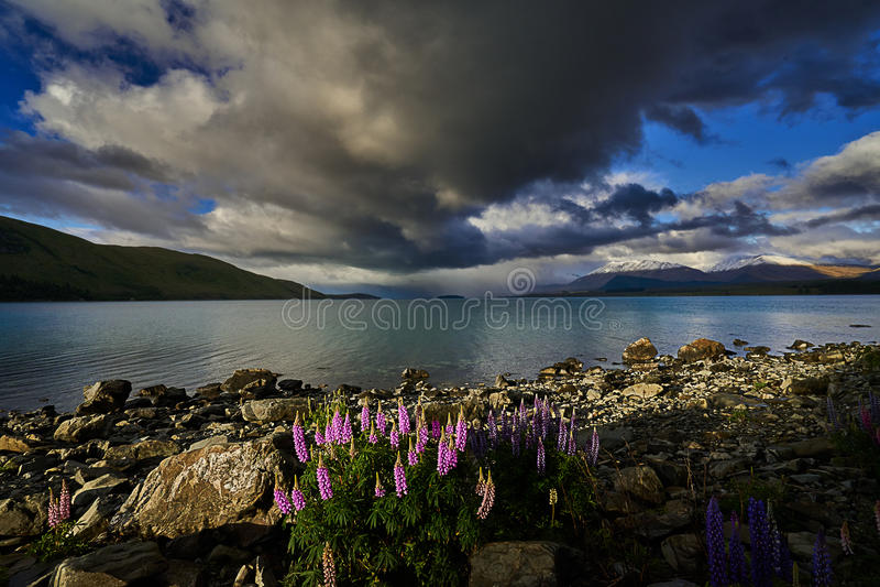 Lupini che fioriscono sulla riva del lago immagine stock