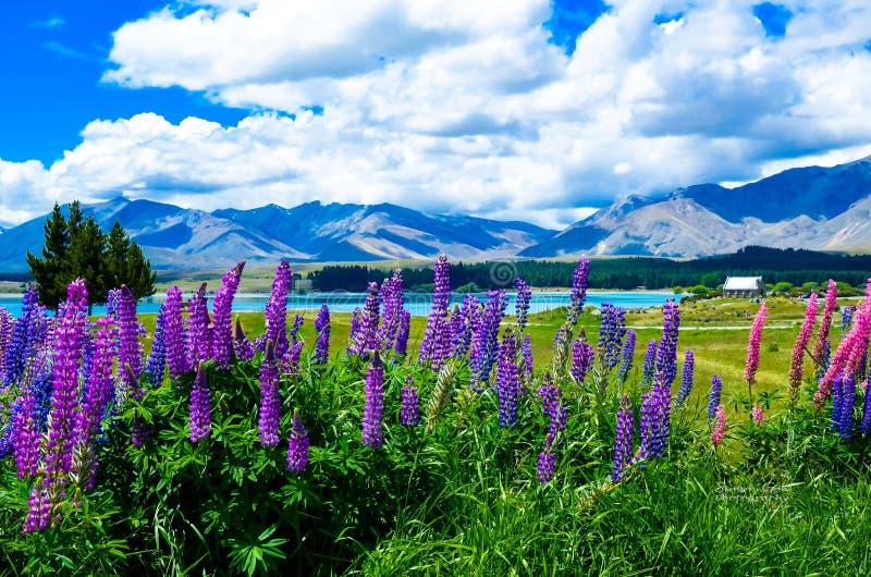 Lupini di Tekapo di estate fotografia stock