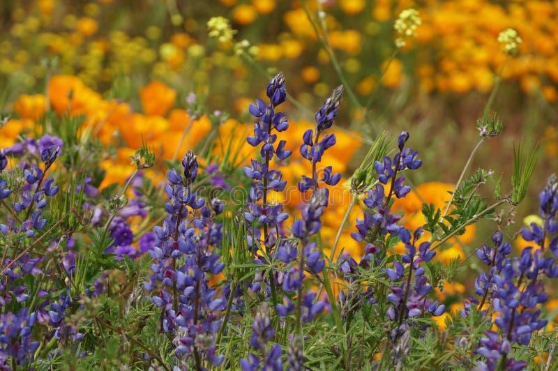 Lupini in fioritura in California fotografie stock