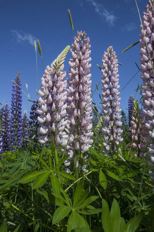 Lupini malva e rosa - lupinus - ed erbe selvatiche contro lo sfondo di un cielo blu nel Nuovo Brunswick immagini stock